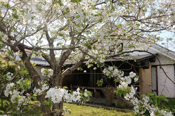 フランボワーズの大島桜