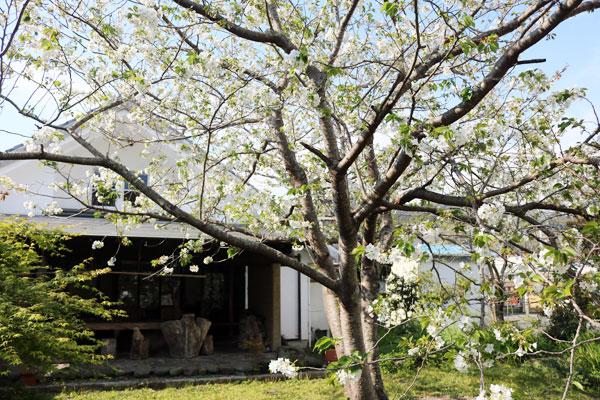 屋外ミーティングルームの桜