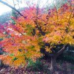 フランボワーズ庭先の紅葉