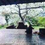 フランボワーズの庭のオオシマザクラ