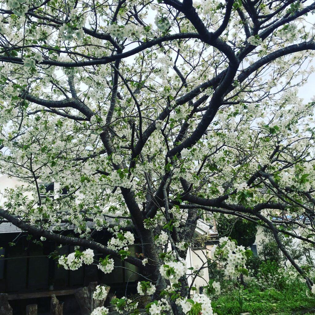 フランボワーズの庭の大島桜